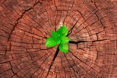 New development and renewal as a business concept of emerging leadership success. As an old cut down tree and a strong seedling growing in the center trunk as a Royalty Free Stock Image