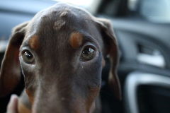 New doberman puppy Stock Photography