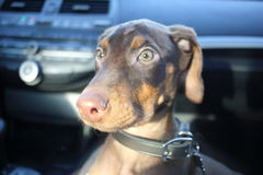 New doberman puppy Royalty Free Stock Photos