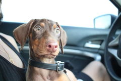 New doberman puppy Stock Images