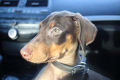 New doberman puppy Stock Photos