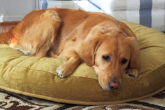 New Dog Bed Stock Images