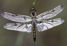 New Dragonfly. A newly emerged dragonfly waits to begin its adult life as an aerial predator Stock Photos