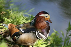 New duck. The beauty duck and nature Royalty Free Stock Photography