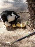New ducks in the world royalty free stock photo