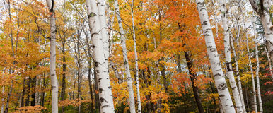 New Engalnd forest fall colors. Royalty Free Stock Photos