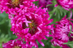 New England aster Arkivfoto