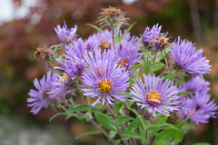 New England Aster Flowers By The Bunch. Blooming purple New England Aster perennial wildflowers in Ontario, Canada. Vibrant delicate beautiful edible wild Royalty Free Stock Photo
