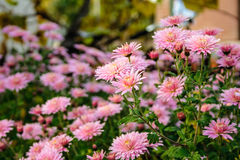 New England aster flowers in the garden oat sunrise Royalty Free Stock Image