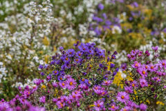 New England Aster Royalty Free Stock Image
