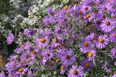 Free New England Aster Symphyotrichum Novae-angliae Royalty Free Stock Photo - 101641955