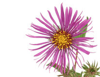 New England Aster (Symphyotrichum novae-angliae) Stock Photo