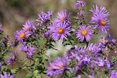 New England Aster Symphyotrichum novae-angliae. Growing in a clearing beside a country road Stock Photo