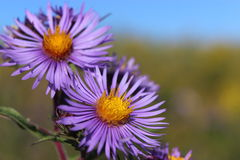 New England Asters Royalty Free Stock Photography