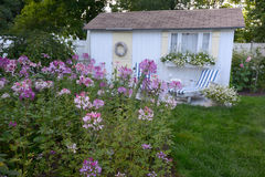 A New England Coastal Cottage and Lavender purple Cleome flower stock photography