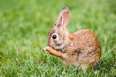 New England Cottontail. Profile Portrait of New England Cottontail Royalty Free Stock Photo