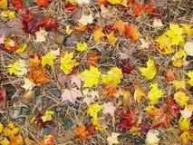 New England Fall Foliage. Ground shot of fresh foliage after rain Royalty Free Stock Images