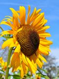 Yellow sunflower on Fall day in Littleton, Massachusetts, Middlesex County, United States. New England Fall. New England fall foliage showing colorful yellow royalty free stock photo