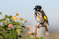 New England Honey Eater bird. On branch Royalty Free Stock Image