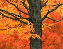 New England lönnträd i nedgångfärger arkivbild
