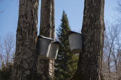 New england maple syrup sap buckets royalty free stock photos