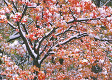 New England Maple Tree Color and snow Stock Images