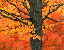 New England Maple Tree  in Fall Colors Stock Photography
