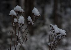 New England Winter pine forest plants after snow storm Stock Photo