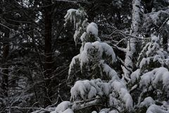 New England Winter pine forest after snow storm Stock Image