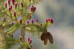 New Evergreen pine cones. Stock Photos