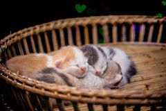 kittens sleep in wooden basket. royalty free stock images