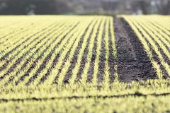 New farm crop growing in ploughed field. Selecive focus. Winter agriculture. New farm crop growing in ploughed field. Selective focus. Rows of green shoots from royalty free stock photography
