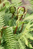New fern frond uncurling Stock Photography