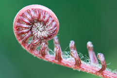A new fern leaf . Stock Photo
