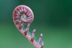 A new fern leaf . Royalty Free Stock Images