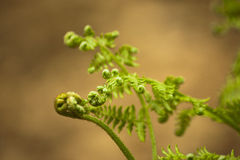 New fern leaves beginning to open Royalty Free Stock Photos