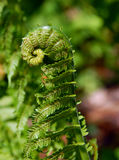 New Growth Fern uncurling Royalty Free Stock Photos