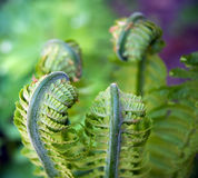 New ferns Royalty Free Stock Photos