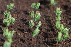 New fir seedlings. royalty free stock photos
