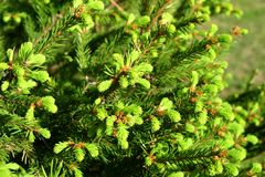 New fir shoots Stock Images