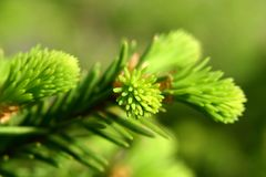 New fir shoots Royalty Free Stock Photography