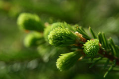 New fir shoots Royalty Free Stock Photo