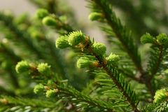 New fir shoots Royalty Free Stock Images