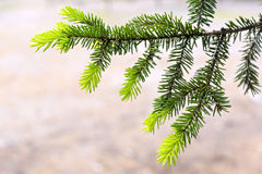 New fir-tree branch Stock Photos
