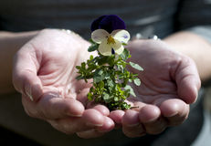 New flower in  hand Stock Photos