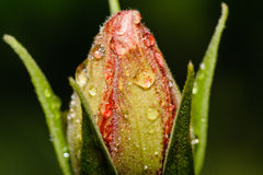 New flower soon. A flower starts to bloom in the rain Stock Photography