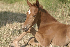 New foal. A young chestnut filly prepares to rise to her feet Stock Image
