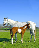 New Foal With Mare stock photos
