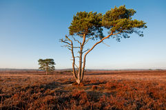 New Forest. Two lone trees  in the new forest hampshire, showing the early morning golden light reflecting from them Royalty Free Stock Photo