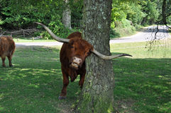 New forest Bull rubbing horns. A very funny New forest bull rubbing his horns against a tree while watching me Royalty Free Stock Image